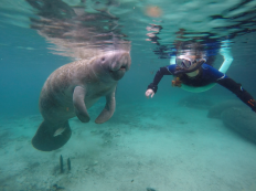 Bailey Bailey Boulter, a 20-year-old UF Wildlife Ecology and Conservation major, looks on as a manatee comes up for air at Three Sisters Springs on Crystal River on Friday, January 23, 2015.