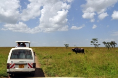 A buffalo looks on at drivers at Ol Pejeta Conservancy.