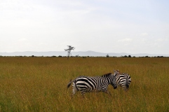 Zebras roam at Ol Pejeta Conservancy.
