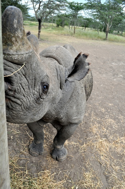 Baraka, a blind Black rhino, is protected at Ol Pejeta Conservancy.