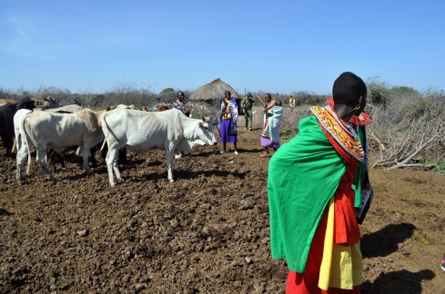 Maasai women stand around in the cow field. The men work to carefully drain some blood from the neck of a cow, to then mix it with cow milk and drink it as a vital source of protein.