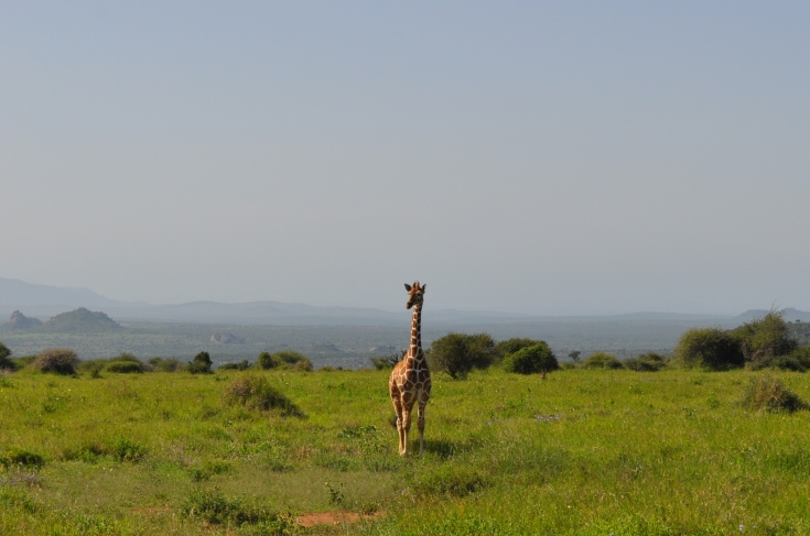 A giraffe holds still before jaunting away at Mpala Research Centre. Unlike Ol Pejeta Conservancy, where the animals have a vast but caged in area to roam, animals can come and go on the Mpala land.